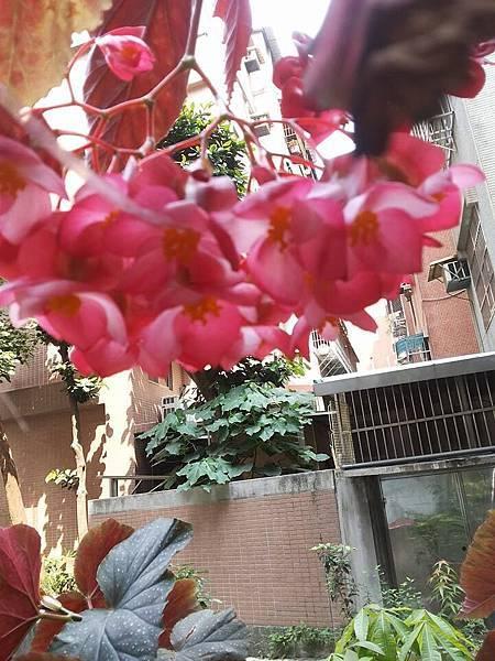 秋海棠6.jpg