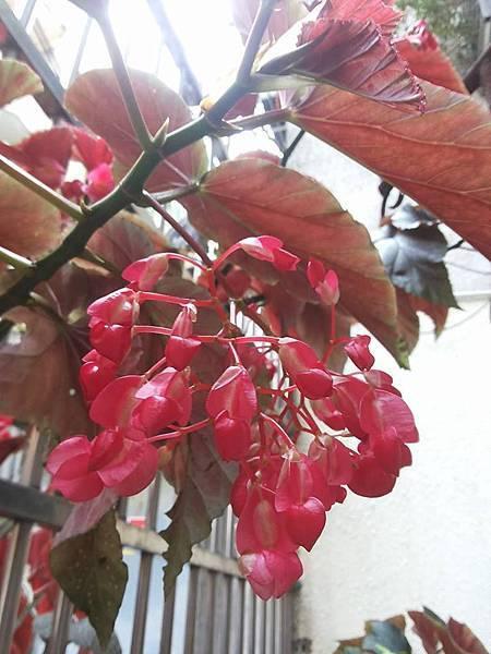 秋海棠10.jpg