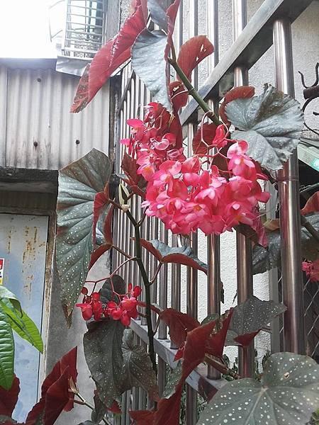 秋海棠14.jpg