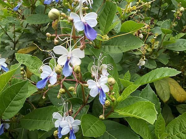 藍蝴蝶6.jpg