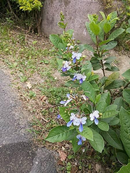 藍蝴蝶5.jpg