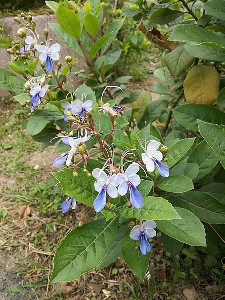 藍蝴蝶4.jpg