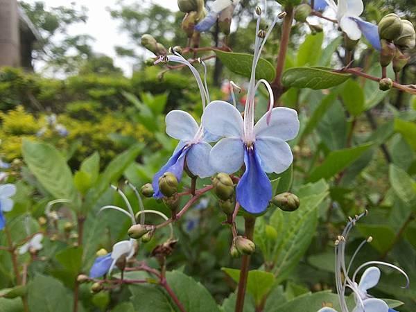 藍蝴蝶8.jpg