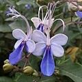 藍蝴蝶11