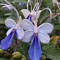 藍蝴蝶12