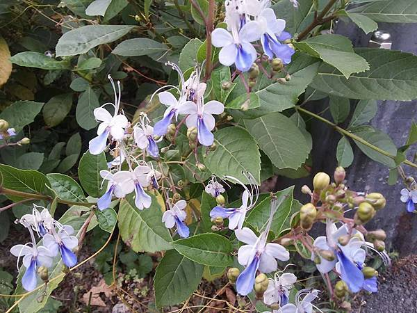 藍蝴蝶13