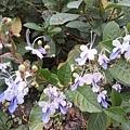 藍蝴蝶14