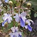 藍蝴蝶15