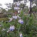 藍蝴蝶20
