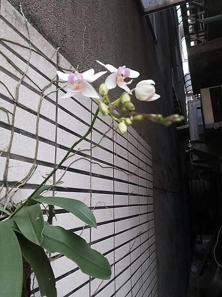 蘭花0417-1.jpg