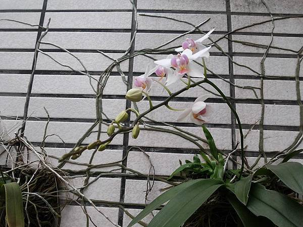 蘭花0423-2.jpg