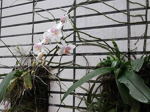 蘭花0424-3.jpg
