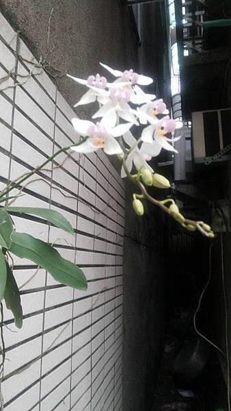 蘭花0427-7.jpg