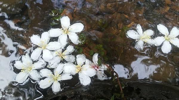 桐花15.jpg
