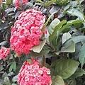 仙丹花33
