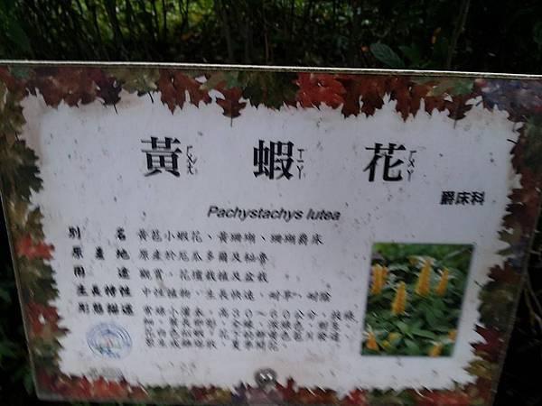 黃蝦花1.jpg
