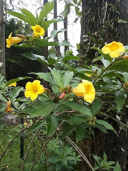 小花黃蟬11.jpg