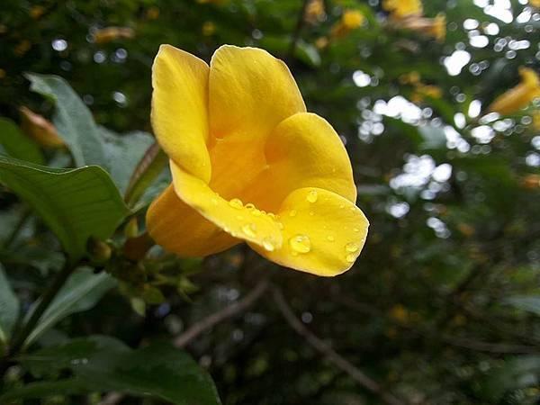 小花黃蟬18.jpg