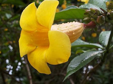 小花黃蟬7