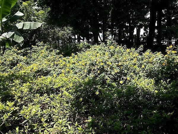 黃花4.jpg