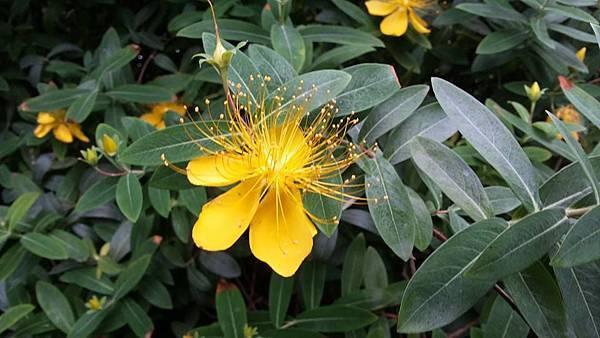 黃花11.jpg
