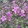 紫色小花1