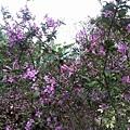 紫色小花7