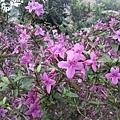 紫色小花9