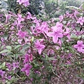 紫色小花17