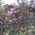 紫色小花4