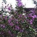 紫色小花5
