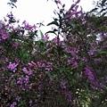 紫色小花6