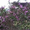 紫色小花20