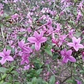 紫色小花8