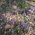 紫色小花31