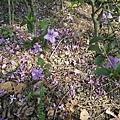 紫色小花32