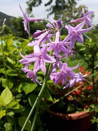 紫嬌花16