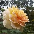 玫瑰11.jpg