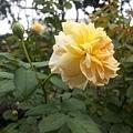 玫瑰10.jpg