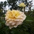 玫瑰13.jpg