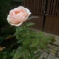 玫瑰16.jpg