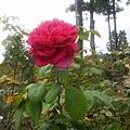 玫瑰19.jpg