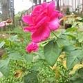 玫瑰21.jpg