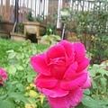 玫瑰22.jpg