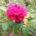 玫瑰23.jpg