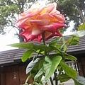 玫瑰26.jpg