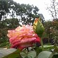 玫瑰27.jpg