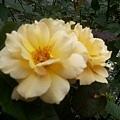 玫瑰30.jpg
