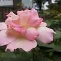 玫瑰32.jpg