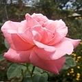 玫瑰36.jpg